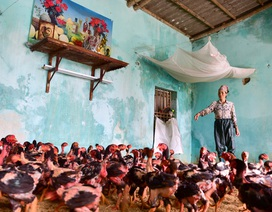 Gà vẫn ở trong nhà dân ngoại thành Hà Nội sau một tuần ngập lũ