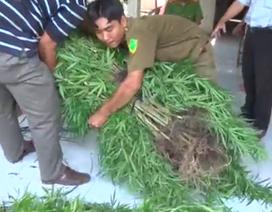 Phát hiện hàng trăm cây cần sa được trồng trong vườn của dân