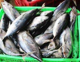 Ngư dân liên tiếp thua lỗ vì cá ngừ đại dương ở Trường Sa mất mùa