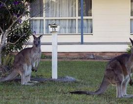 Australia khuyên người dân ăn thịt kangaroo