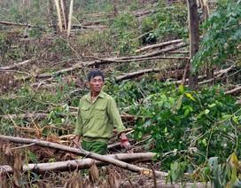 Rừng bị tàn phá sau bão có nguy cơ thành củi vì... chờ thủ tục