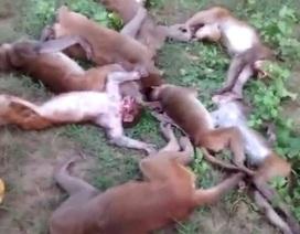 Bị hổ dọa, khỉ lăn ra chết cả tá vì đau tim