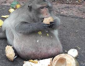 Chú khỉ béo phì trong vườn thú khiến du khách tò mò