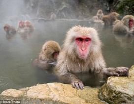 """Vườn thú Nhật Bản gây tranh cãi khi tiêu hủy hàng chục con khỉ mang gen """"ngoại"""""""