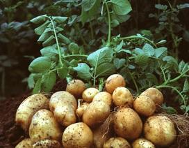Trồng khoai tây trên sao Hỏa