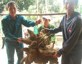 Củ khoai vạc rồng khổng lồ nặng 75kg