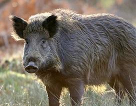 Một nửa số lợn hoang dã ở tây nam Cộng hòa Czech vẫn còn nhiễm phóng xạ