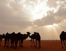 """Ả rập Xê út """"trục xuất"""" 12.000 con lạc đà và cừu của Qatar"""