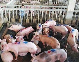 Tiêu hủy cả đàn lợn 56 con bị lở mồm long móng