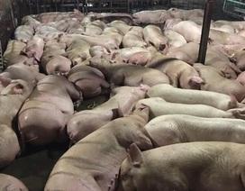 Bắt quả tang cơ sở giết mổ bơm thuốc an thần cho hơn 5.000 con lợn