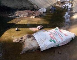 Hàng loạt xác lợn bốc mùi trôi trên kênh