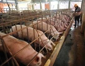 """""""Giải cứu"""" lợn thịt: Bộ Nông nghiệp sang Trung Quốc đàm phán xuất khẩu"""
