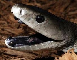 Nam Phi: Bắt rắn nguy hiểm nhất thế giới mò vào nhà dân