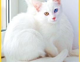 """Điểm danh những loài mèo """"quý tộc"""", đáng giá cả gia tài"""