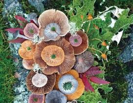 Đây phải chăng là loài nấm đẹp nhất trên Trái Đất?