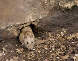 New York chi hơn 30 triệu USD tuyên chiến với nạn chuột hoành hành