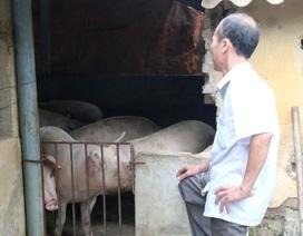 """""""Thủ phủ"""" nuôi lợn miền Bắc lao đao trong cơn """"bão giá"""""""