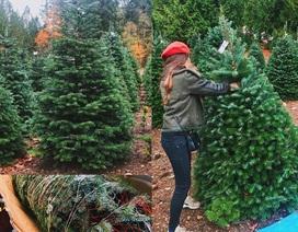 Người Việt chi bạc triệu mua cây thông nhập khẩu chơi Giáng sinh