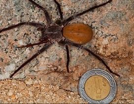 Phát hiện nhện khổng lồ 8 mắt ở Mexico