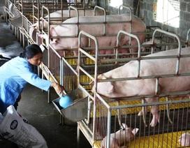 Nuôi 1.000 con lợn thịt được ngân sách hỗ trợ 3 tỷ đồng