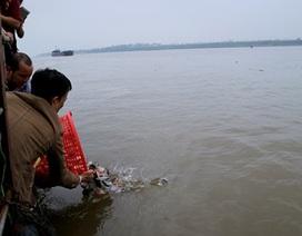 """Nghi vấn thả cá """"ăn thịt"""" xuống sông Hồng: Cá chim trắng có phải loài ngoại lai xâm hại?"""