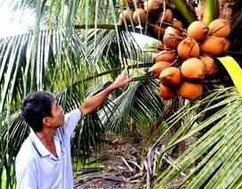Thu nhập 300 triệu đồng từ trồng dừa Mã Lai