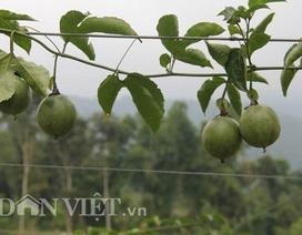 Hối hả thu hoạch chanh leo kiếm tiền sắm Tết