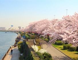 Khám phá công viên hoa Anh Đào đẹp nhất xứ Phù Tang với vé tàu Tobu Railway
