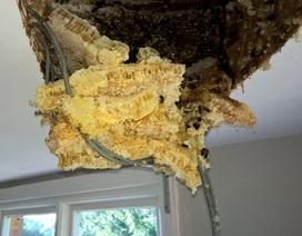 """Thấy trần nhà """"dột"""" ra mật, tìm được cả tổ ong khổng lồ trên gác"""