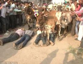Dù bị thương vẫn để bò dẫm lên lưng cho... thêm phần may mắn