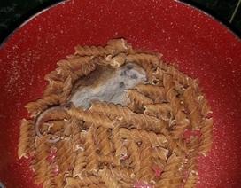 Rợn da gà phát hiện xác chuột chết trong mì ống mua ở siêu thị