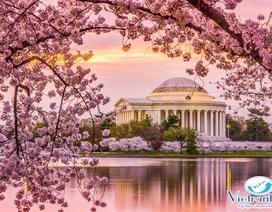 Ngắm hoa Anh Đào đẹp nhất thế giới chỉ từ 11,2 triệu đồng