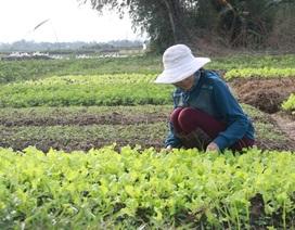Quảng Trị: Rau màu chết vì mưa rét, người nông dân lo mất Tết