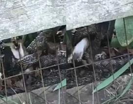 Thỏ mẹ liều mình tấn công rắn để cứu con