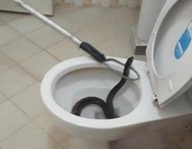 Đang đi vệ sinh, bất ngờ bị trăn chui từ bồn cầu lên cắn