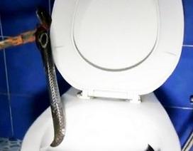 Kinh hãi phát hiện rắn hổ mang chúa chui lên... từ bồn cầu nhà vệ sinh