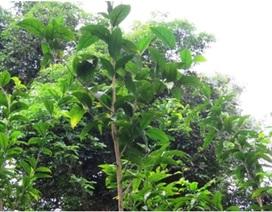 Thanh Hóa đầu tư gần 1,4 tỷ đồng bảo tồn loài rau Sắng