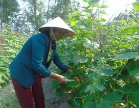 Dân nghèo ở xã bãi ngang giàu lên nhờ trồng rau