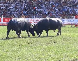Đang diễn ra Lễ hội chọi trâu Đồ Sơn 2017