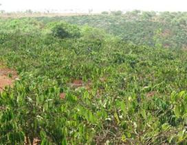 Giám đốc công ty lâm nghiệp mất chức vì để mất hàng nghìn hecta rừng