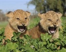 Đáng yêu khoảnh khắc sư tử con tập gầm theo cha