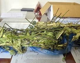 Tàng trữ, mua bán cây, quả thuốc phiện: Bắt khẩn cấp một chủ phòng khám y học cổ truyền