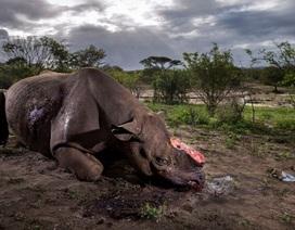 """Bức ảnh tê giác đen bị cưa sừng giành giải """"Nhiếp ảnh gia Động vật hoang dã của năm"""""""