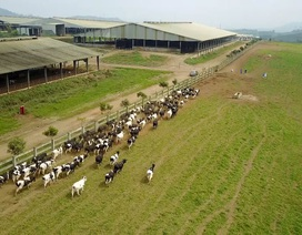 Doanh nghiệp đầu tiên chuyển đổi thành công 1000 bò sữa Organic trên đồng đất VN