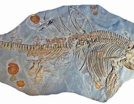 Tìm thấy thai nhi trong bụng mẹ ở một hóa thạch bò sát biển 200 triệu năm tuổi