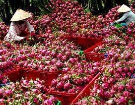 Trung Quốc nhập khẩu 99% thanh long từ Việt Nam