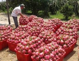 Mua Thanh Long giá rẻ của Việt Nam, Trung Quốc bán cao gấp 10 lần!