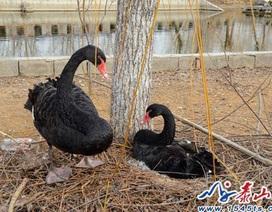 Cặp đôi thiên nga đen bỏ ăn sau khi bị du khách ăn cắp trứng