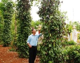 Người trồng tiêu tại Quảng Trị khốn đốn vì dịch bệnh