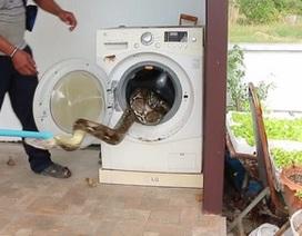 Giật mình phát hiện trăn khủng dài gần 4m nấp trong máy giặt